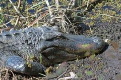 Den amerikanska alligatorn Royaltyfri Foto