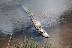 Den amerikanska alligatorn Royaltyfri Fotografi