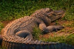Den amerikanska alligatorn vilar på en flodbank Arkivfoton
