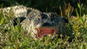 Den amerikanska alligatorn visar dig hans stora mun Royaltyfri Fotografi
