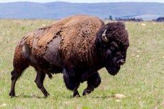 Den amerikanska bisonen, också som är bekant som den amerikanska buffeln som fritt irrar i Oklahoma Royaltyfria Foton