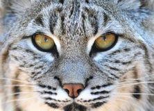 den amerikanska bobcatclosen eyes north upp yellowstone Arkivbild