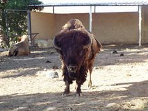 Den amerikanska buffeln Arkivfoto
