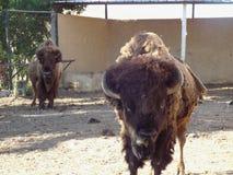 Den amerikanska buffeln Royaltyfri Foto