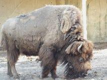 Den amerikanska buffeln Royaltyfri Fotografi