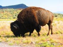 Den amerikanska buffeln Fotografering för Bildbyråer
