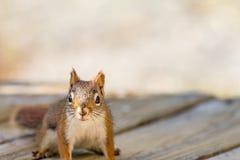 Den amerikanska röda ekorren poserar på ett wood plankadäck, främre sikt Fotografering för Bildbyråer