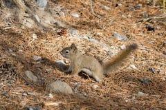 Den amerikanska röda ekorren (Tamiasciurushudsonicusen) Arkivbilder