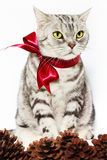 Den amerikanska shorthairsilverkatten band den röda pilbågen med sörjer kottar Royaltyfria Bilder