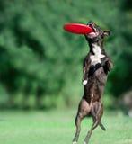 Den amerikanska staffordshire terriern fångar den frisby skivan Royaltyfri Fotografi