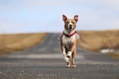 Den amerikanska staffordshire terriern kör Royaltyfria Bilder