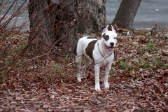 Den amerikanska staffordshire terriervalpen står nära ett stort träd Sex gamla månad Arkivfoton