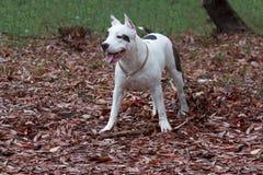 Den amerikanska staffordshire terriervalpen står på höstlövverket Älsklings- djur Royaltyfri Fotografi
