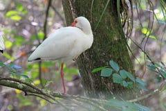 Den amerikanska vita ibits Arkivfoto