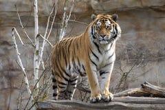 Den Amur tigern, den Pantheratigris altaicaen, övervakar nära närliggande Arkivbild