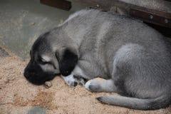 Den Anatolian herden Dog Turkey för Sivas Kangal hund Arkivfoto