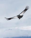 Den Andean kondor skjuta i höjden över Bariloche, Argentina Arkivbilder