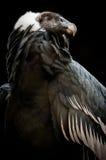 Den Andean kondor (Vulturgryphusen) Arkivbild