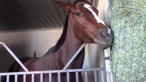 Den angelägna fullblods- tävlings- hästen äter hö stock video