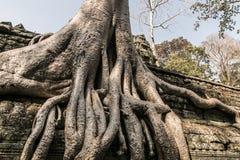 Den Angkor treen rotar royaltyfri fotografi