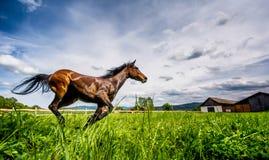 Den Anglo arabiska hästen som springa omkring i vilt tillstånd och, frigör i sommartid Royaltyfri Foto