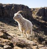 Den angora- geten matar i Drakensbergen, Lesotho Arkivfoton