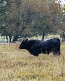 Den Angus tjuren i höst betar - lodlinje arkivfoton