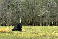 Den Angus tjuren som ner ligger i vår, betar arkivbilder