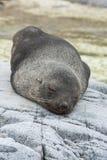 Den antarktiska pälsskyddsremsan som sover på, vaggar av en liten Antarktis är Royaltyfria Bilder