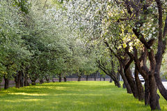 Den Apple blomningen Royaltyfri Fotografi