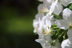 Den Apple blomningen fjädrar in royaltyfri bild