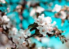 Den Apple blomningen fjädrar in Arkivfoto