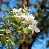 Den Apple treen blommar på en bakgrund av blåttskyen Arkivbild