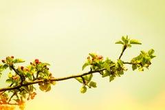 Den Apple treen förgrena sig med blommor Arkivfoto