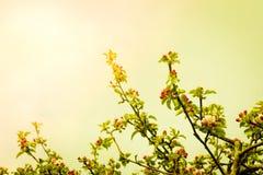 Den Apple treen förgrena sig med blommor Arkivfoton