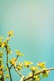 Den Apple treen förgrena sig med blommor Royaltyfri Foto