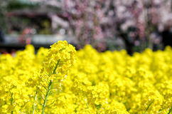 den april blomningbilden våldtar takes Arkivfoto