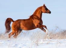 Den arabiska hästen galopperar i vintern. Arkivbilder