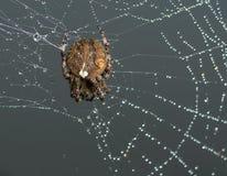 Den arga spindeln sitter på hans spindelnät Arkivfoto