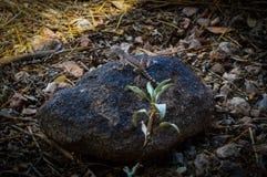 Den Arizona ödlan på vaggar royaltyfri fotografi