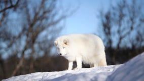 Den arktiska räven stock video