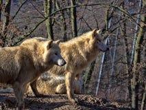 Den arktiska vargen, arctos för Canislupus, är en fruktad jägare, liv i packar royaltyfria bilder