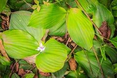 Den aromatiska ingefäran (den Kaempferia galangaen) med vita lilor blommar i natur Den Kaempferia galangaen används som en ört oc Arkivfoto