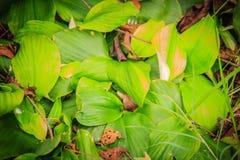 Den aromatiska ingefäran (den Kaempferia galangaen) med vita lilor blommar i natur Den Kaempferia galangaen används som en ört oc Royaltyfri Foto