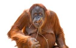 Den asiatischen Orang-Utan essen lokalisiert am weißen Hintergrund Stockbilder