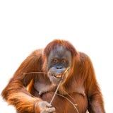 Den asiatischen Orang-Utan essen lokalisiert am weißen Hintergrund Stockbild