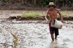 Den asiatiska bonden som kastar ris, kärnar ur vid handen på våt gyttja i risfält arkivbild