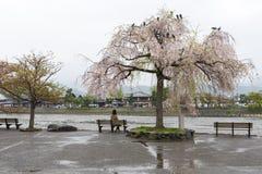 Den asiatiska damen sitter parkerar på bänken under rosa körsbärsröd blossontreeZsaku Arkivbilder