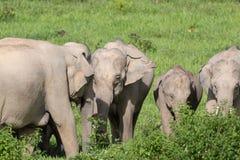 Den asiatiska elefanten är stort djur fem i asia arkivbilder