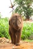 Den asiatiska elefanten behandla som ett barn är joyfully Fotografering för Bildbyråer